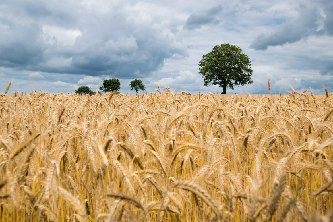 Getreideähren und Himmel